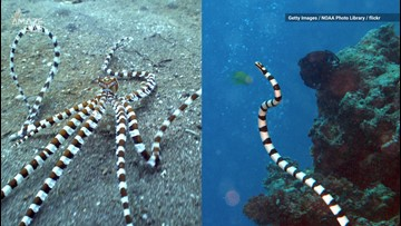 Master of Disguise: This Octopus Can Mimic 15 Different Animals