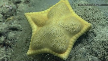 Watch: Scientists Spot 'Ravioli' Sea Star in Atlantic Ocean