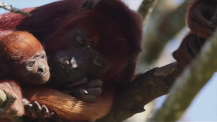 Baby Red Howler Monkey Welcomed Into French Zoo!