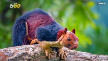 These photos of giant, multi-colored squirrels are stunning