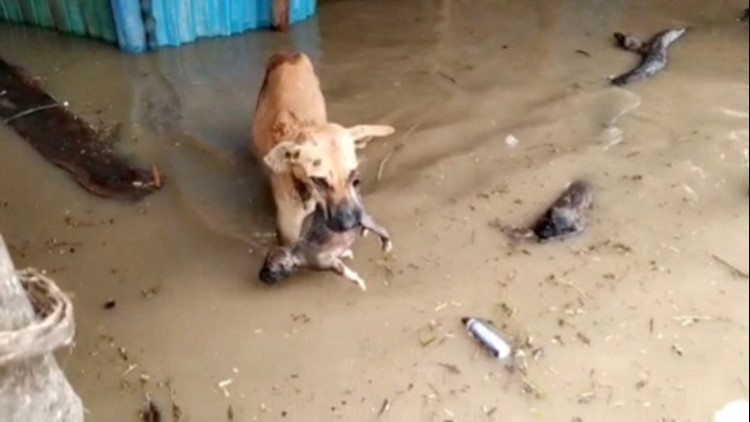 Hero Dog! This Amazing Mom Saved Her Puppy From a Raging Flood