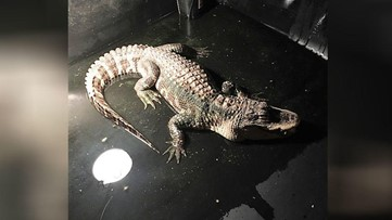 Alligator removed from basement of Ohio home