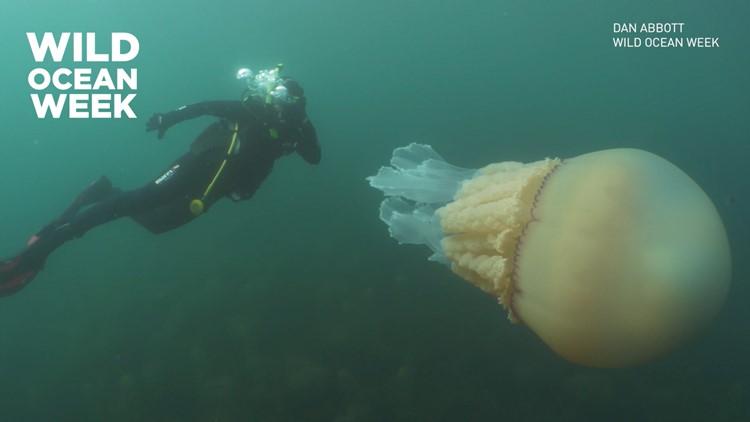 giant jellyfish Wild Ocean week