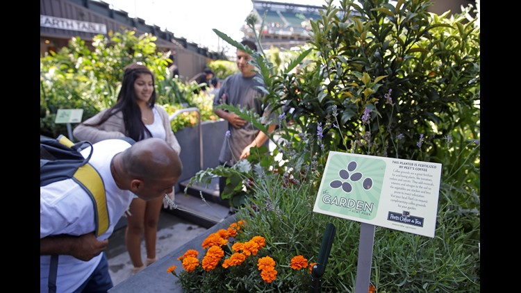 In this Aug. 28, 2014, a man bends down to take a closer look at a plant display in the Edible Garden located in center field at AT&T Park before a San Francisco Giants baseball game in San Francisco. From the 20 some cutting-edge, space-saving vertical towers that require far less soil and water to the more traditional raised beds and planter boxes, the garden is not only a tranquil spot in the middle of a bustling ballpark along San Francisco Bay but also an outdoor classroom to teach children and teens even adults for that matter about healthy eating from fresh ingredients and urban farming. (AP Photo/Eric Risberg)