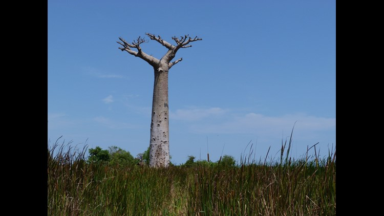 Africa's oldest baobab trees are dying