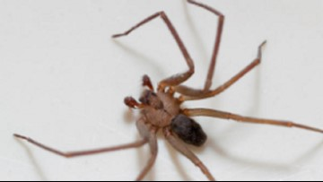 Doctors pulled a brown recluse spider from woman's ear. She thought it was water from her shower