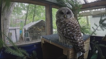 Increase in owl collisions with vehicles near Seattle