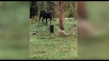 WATCH | Fox and Moose Face off in Colorado and It's the Cutest Thing You'll See All Day