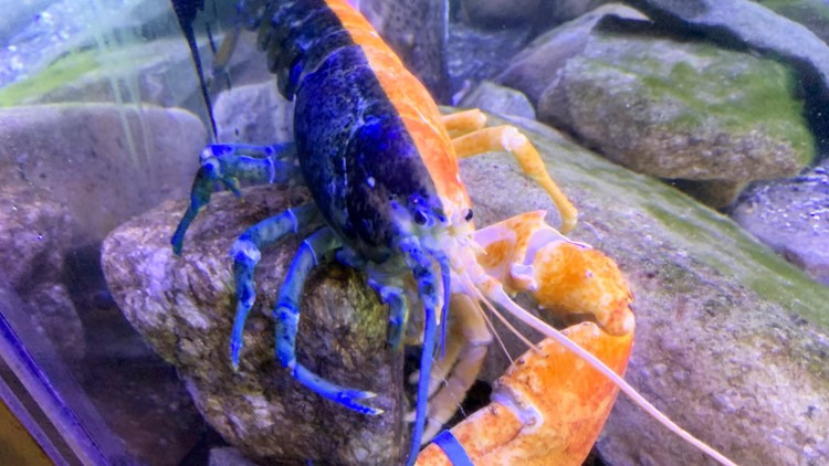 What's orange and blue and lobster all over? This gynandromorph lobster on display in New Hampshire, of course!