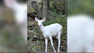 Rare white deer with blue-ish eyes caught on video in Michigan