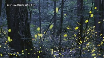 Synchronous Fireflies In The Smokies Expected To Peak May 30-June 6