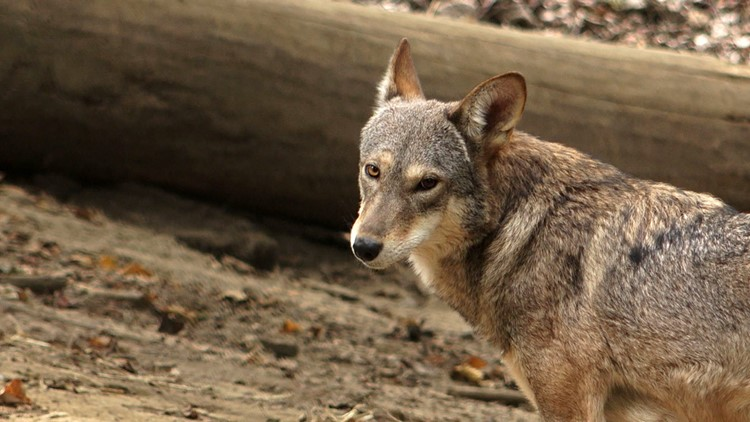 Red Wolf at Zoo Knoxville Enclosure