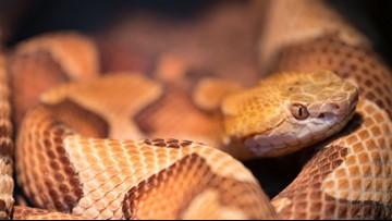 Venomous Snake Bites Up 67-Percent In North Carolina