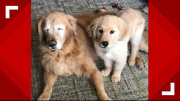 Best Buddies: Blind Golden Retriever Gets Help From 'Seeing Eye' Puppy