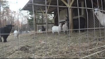Coyote Attacks And Kills Greensboro Woman's Goats