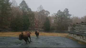 Bison play in the rain at NC Zoo