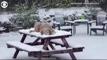 Golden Retrievers Enjoying the First Snowfall of 2019 in Littleton, Colorado