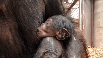 Welcome Baby Girl! New Chimp Born At The North Carolina Zoo
