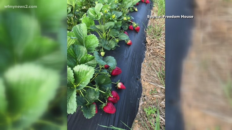 Triad farm sells strawberries to help women recovering from addiction