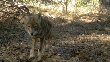 Howwwl! NC Coyote Sightings Increase in October and November,  Here's Why