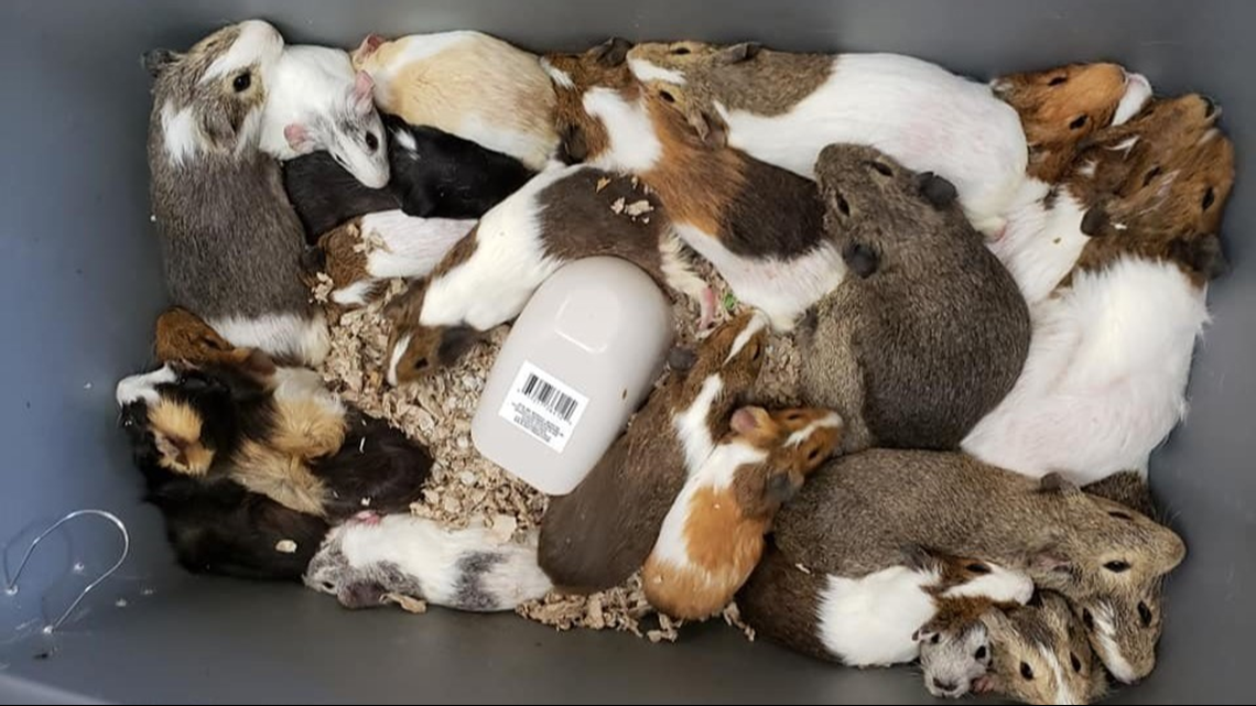 35 Guinea Pigs Find Homes After Davidson County Animal Shelter Puts Out Plea For Help