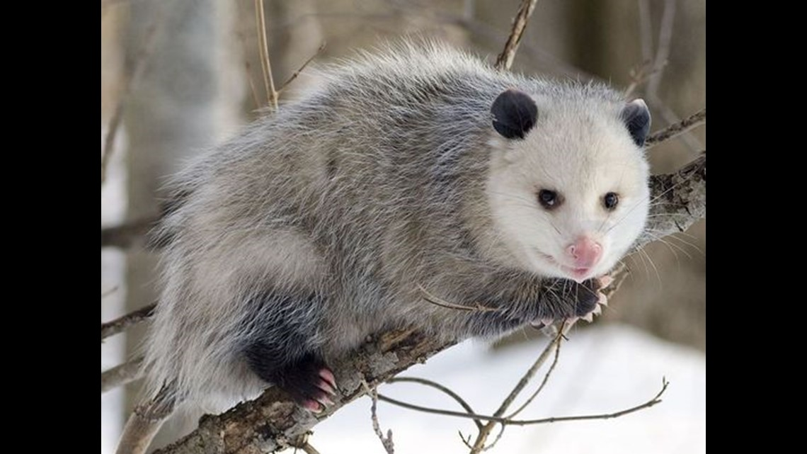 VERIFY: Yes, Opossums Hardly Ever Get Rabies