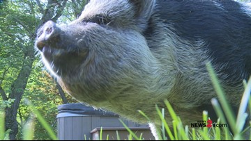 Oink! Oink! 'Hamilton The Pig' Has A Winning Reputation Bringing Good Luck To The Hurricanes