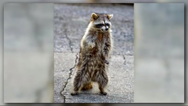 Youngstown Ohio residents reporting zombie raccoons