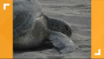 Sea turtles set nesting record at Cape Hatteras Seashore