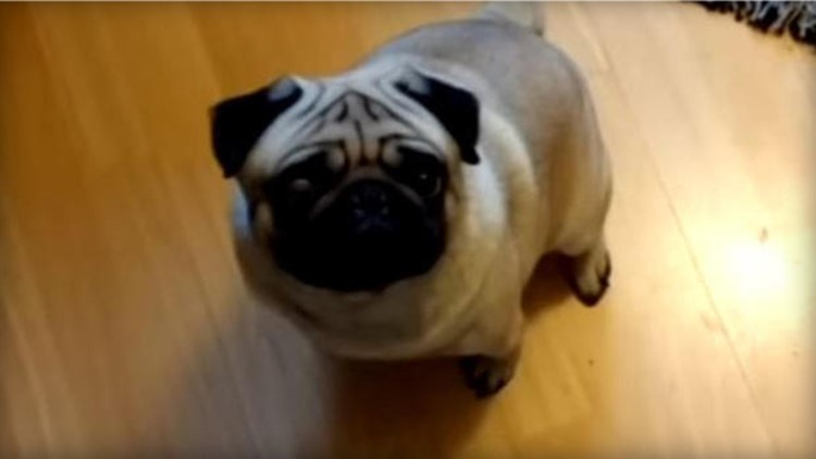 Man fined for hate crime after filming pug's 'Nazi salutes'
