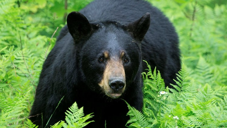 Girl, 5, dragged away by bear outside her home