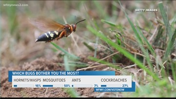 Be On The Lookout For Cicada Killer Wasps