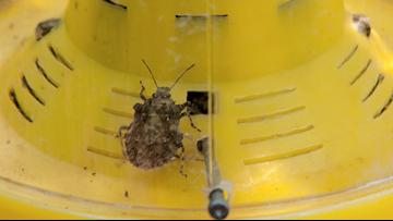 Ewww! Stink Bugs Lurking Everywhere Or So It Seems