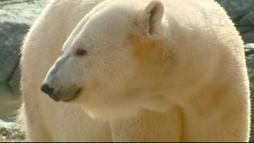 NC Zoo Polar Bear Likely Not Pregnant After Mating Season
