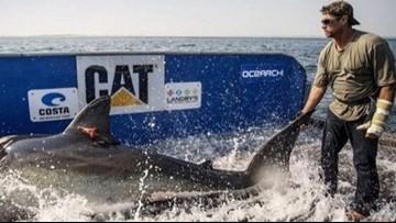 Massive Great White Sharks Swimming Off Carolina Coast