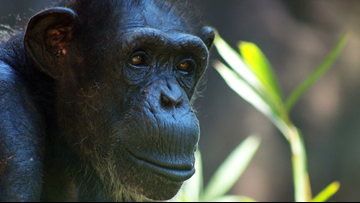 Beloved Chimp 'Ruthie' Known For Her 'Silly, Sass, And Stubbornness' Dies At The NC Zoo