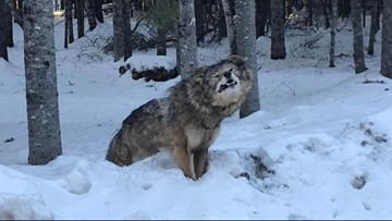 Someone in Maine Stuck This Frozen Roadkill In a Snowbank