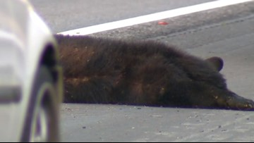 Bear Dies After Being Hit By Driver On I-40 in Greensboro