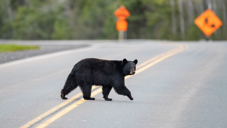 Black bear sighting spike in North Carolina