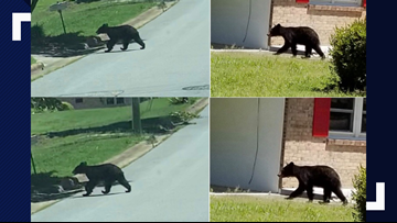 Black Bear Sightings Reported In Danville, What To Do If You See One