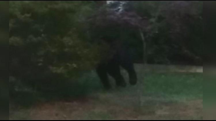 Bear Sighting Browns Summit