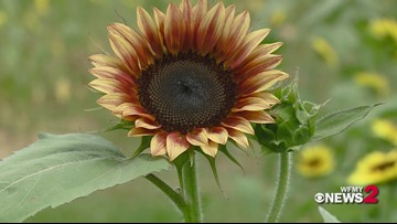 The Beautiful Sunflowers of Dewberry Farm