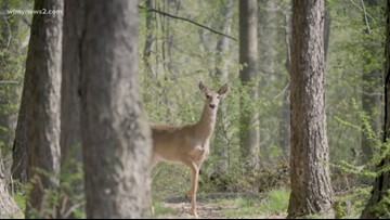Watch Out For That Deer!  Guilford County Ranks 2nd In Statewide Animal Crashes: NCDOT