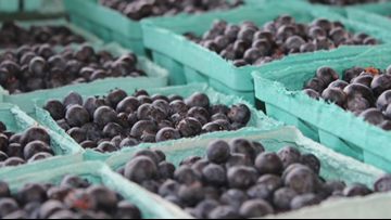 NC Blueberry Season is Heating Up