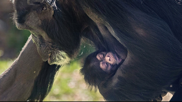 Powerful Photo Captures 'Motherly' Love As NC Zoo's Chimp 'Gerre' Carries Her Newborn Baby