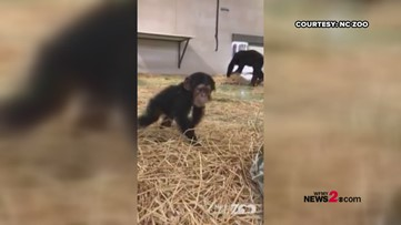 Go, Obi, Go! NC Zoo's 6-Month-Old Chimpanzee is on the Move!