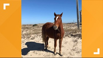 Corolla Wild Horse Put Down After Running Into Barbed Wire Fence