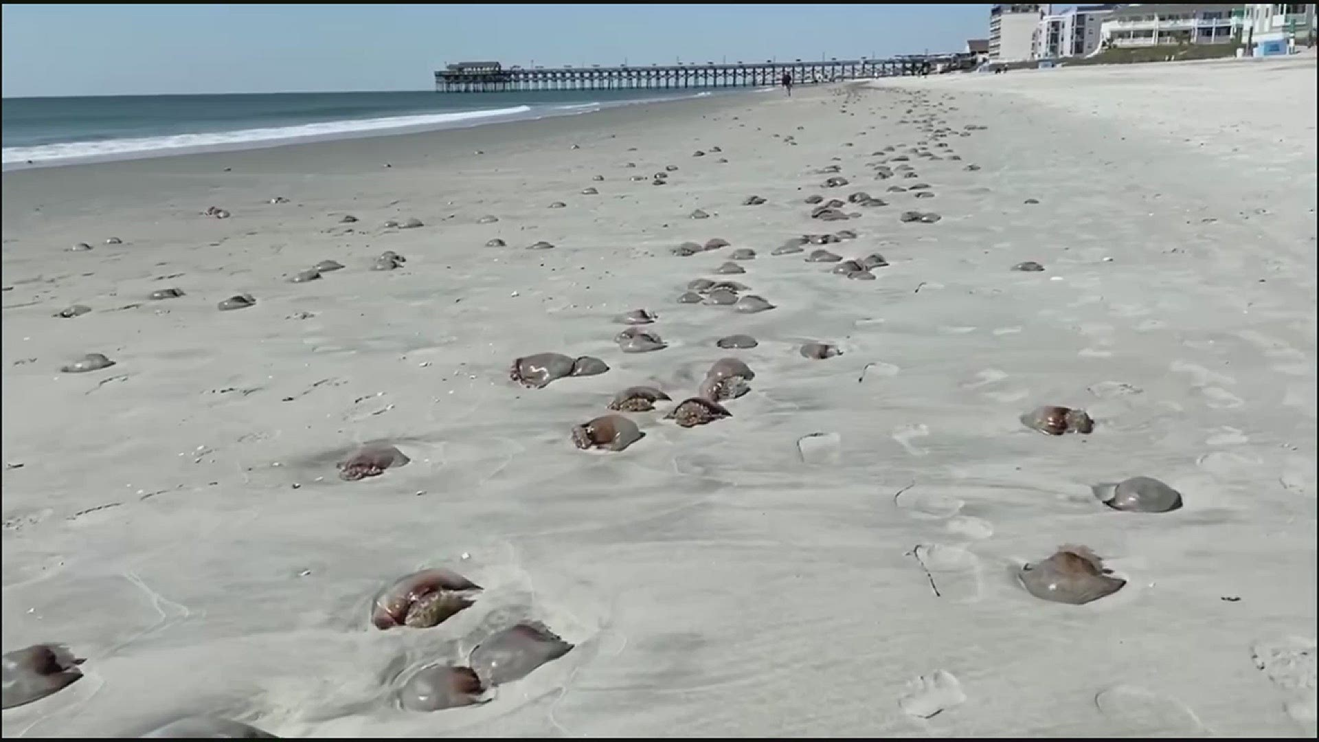 Police Warn About Cannonball Jellyfish