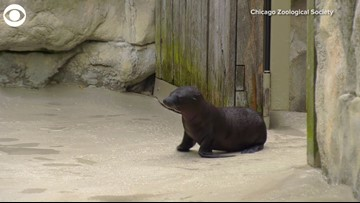 Sea Lion Pup Makes Adorable Debut