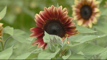 The Sunflowers of Dewberry Farm: A Summertime Tradition